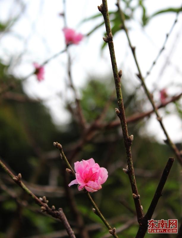福州森林公园桃花树现冬季开花奇景