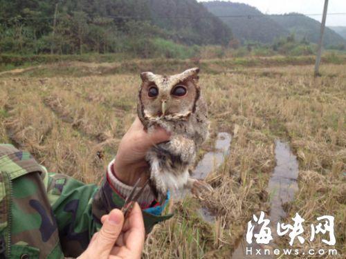 南平一名鸟友救下国家二级保护动物领角